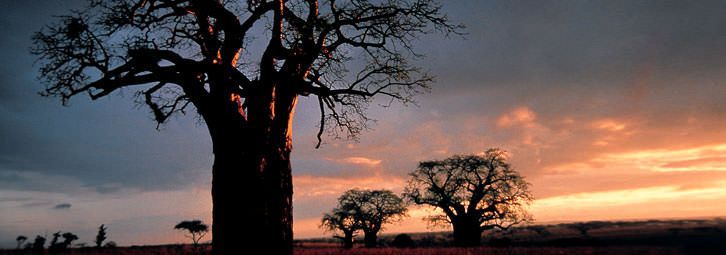 Page_Banners_BaobabTrees1